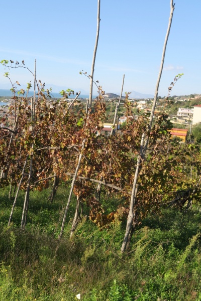 traditional high trained vine
