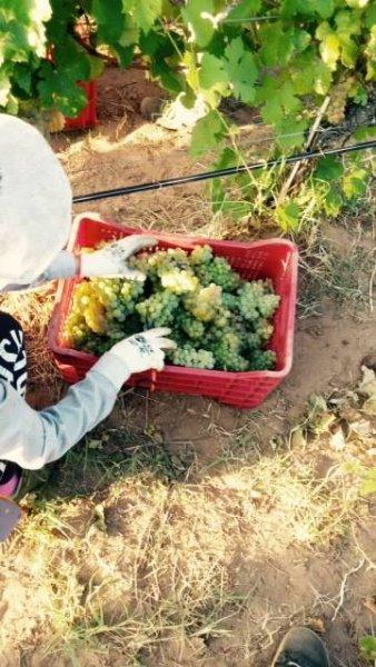 harvest Bolgheri whites