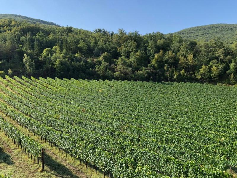 Vigneto/vineyard  Caparsa
