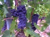 ripe Sangiovese