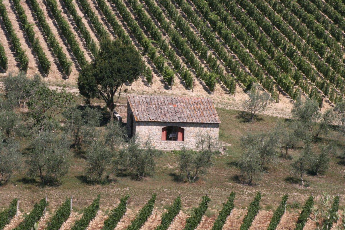 vineyarda at Ama