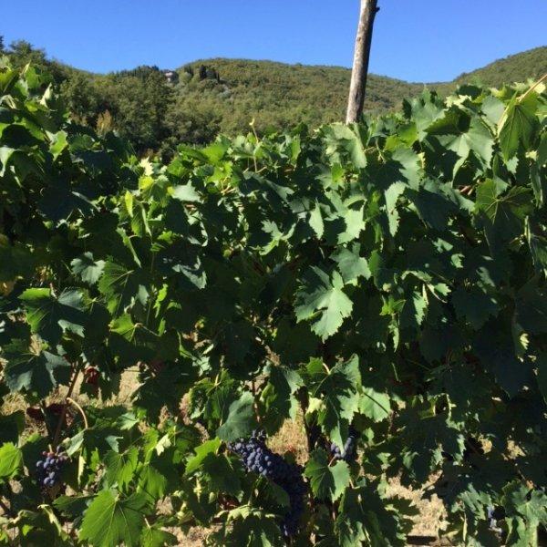 Caparsa vineyard