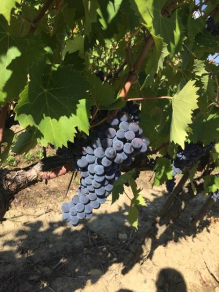 Sangiovese on the vine