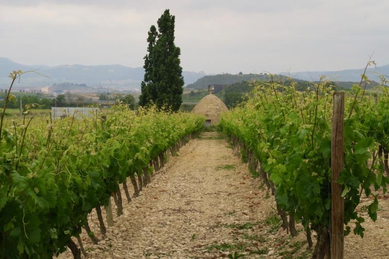 Vineyard at Beronia