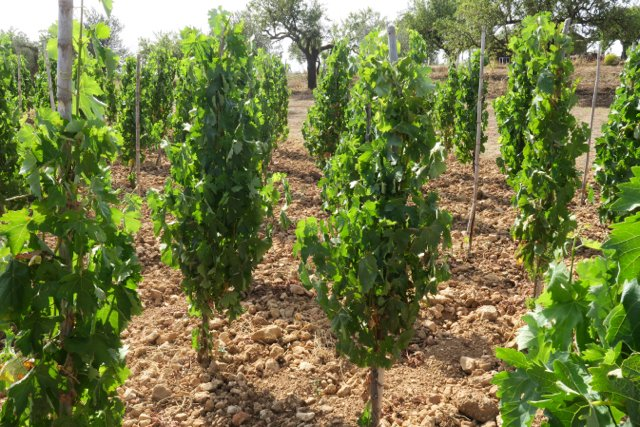 young bush vines Nero d'Avola