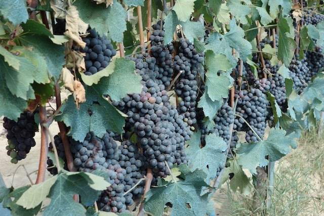 Nebbiolo grapes maturing on the vine
