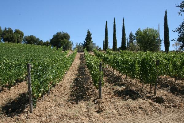 Sorgente vineyard