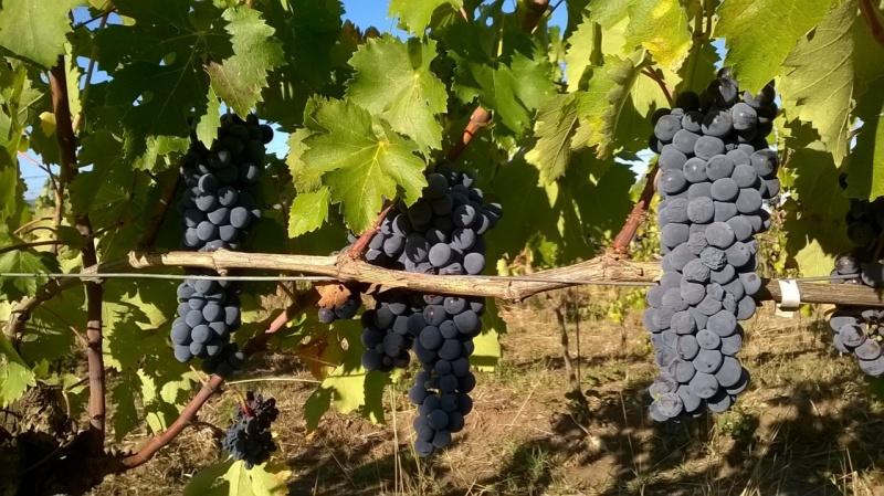 ciliegiolo vigna san lorenzo, qualcosa appassito / Ciliegiolo in the San Lorenzo vineyard with some dried grapes
