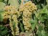 Trebbiano grapes