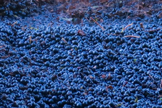 machine-picked grapes