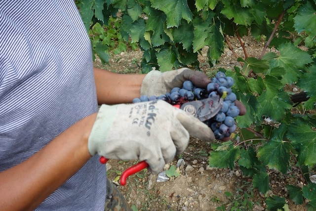 Cleaning up grapes