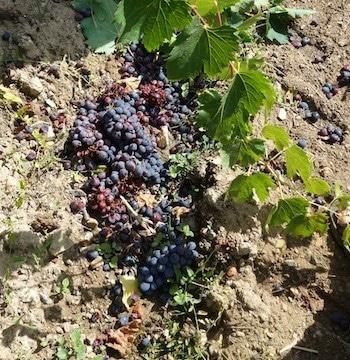 Discarded (unripe/rotten) grapes