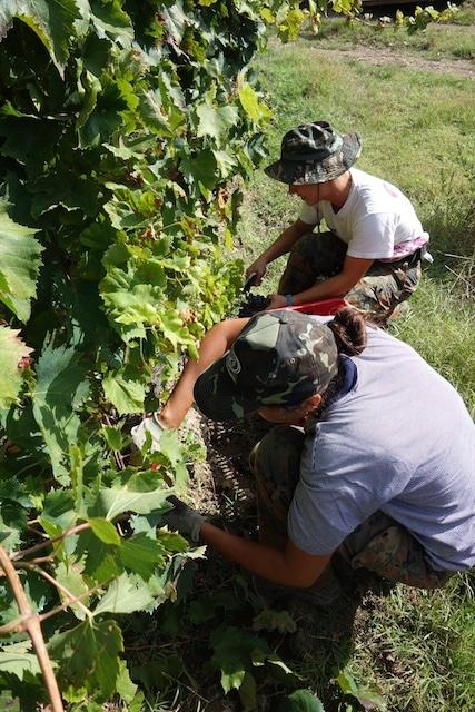 Pick grapes!